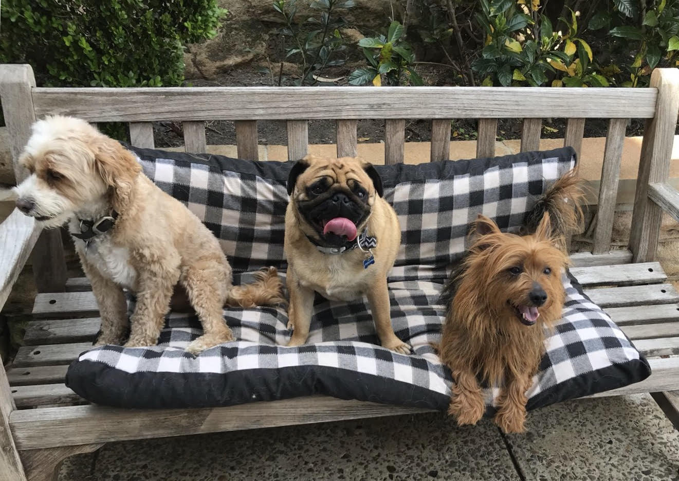 labradoodle, pug, australian terrier stitting on bench